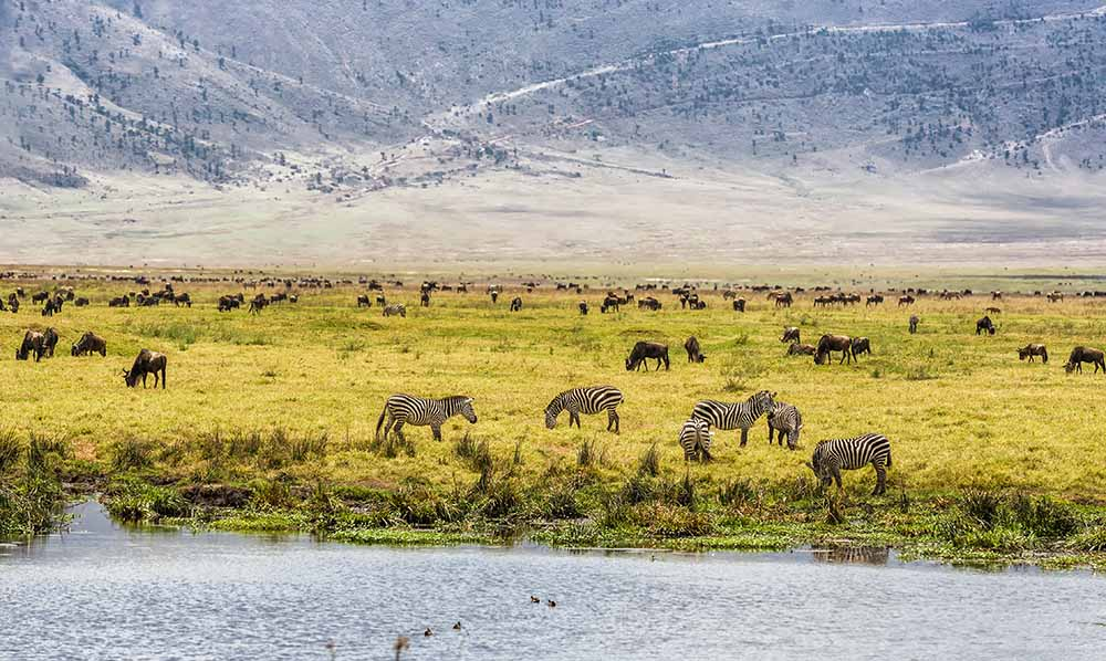 Herds of wildebeests and zebras in the Ngorongoro Crater, Tanzania