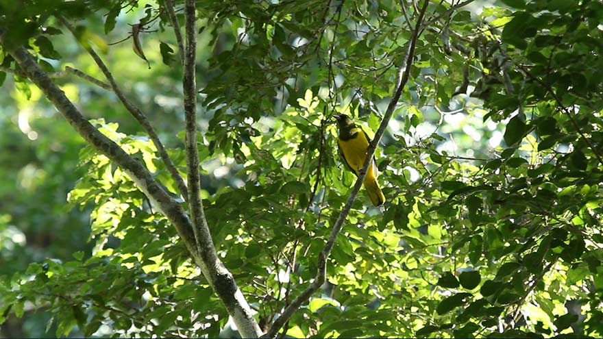green-headed-oriole