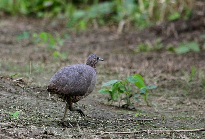udzungwa-forest-partridge2